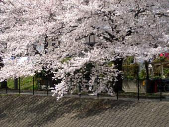Sakura_1_1