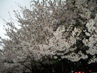 Sakura_2_1